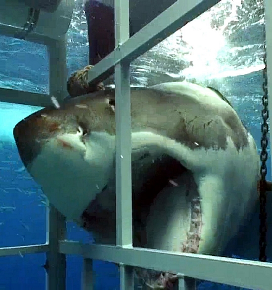 Great White Shark Cage Diving | Great White Shark Cage Diving Cape To Grape Wine Tours